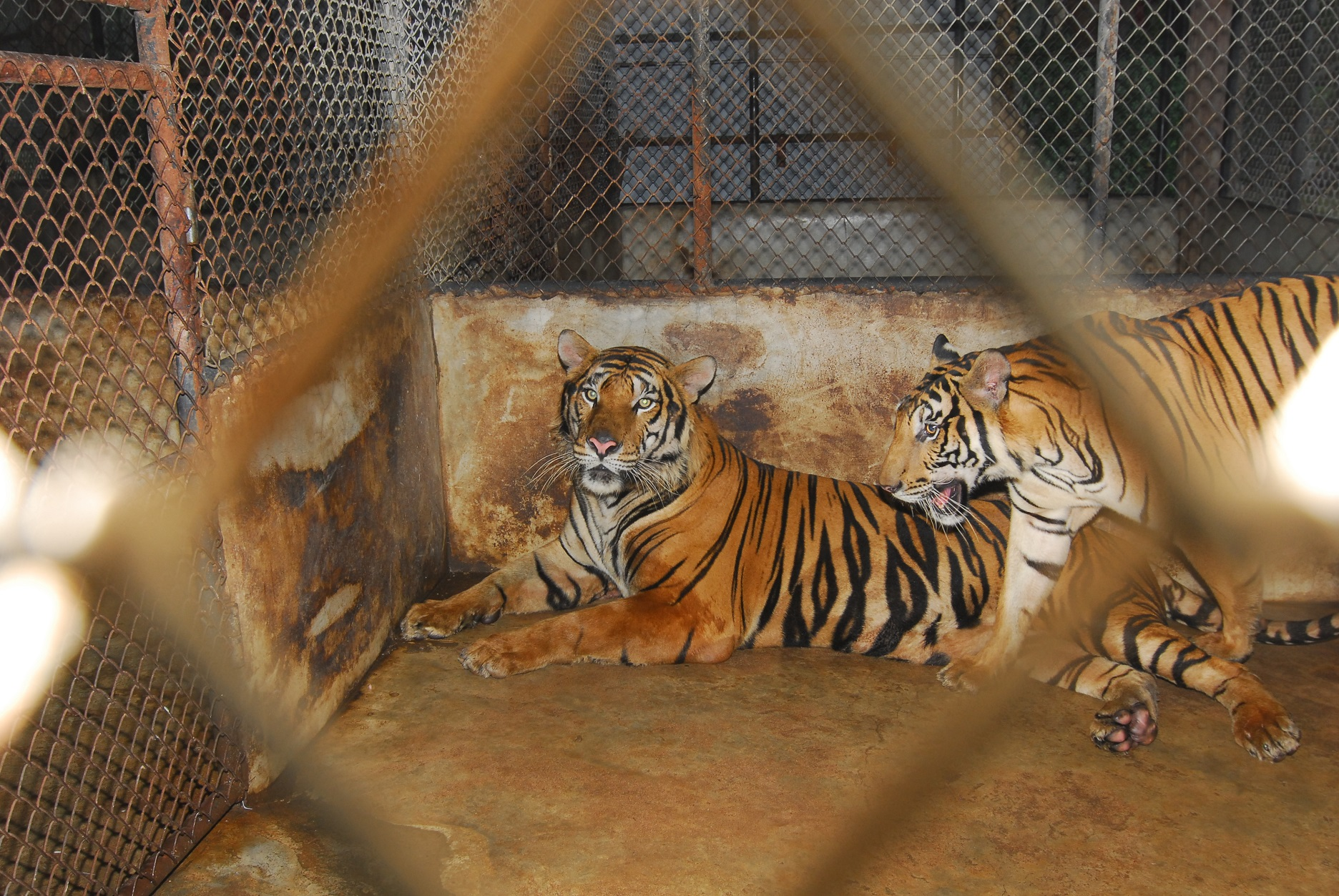 "Tigri in gabbia in una ""tiger farm"" thailandese"