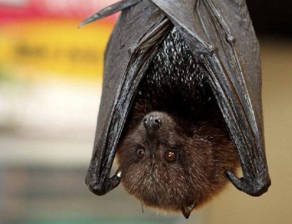 Animalisti in campo: basta fake news sui pipistrelli