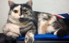 "Cat, il gatto ""chimera"" arriva su Instagram"