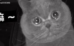 Il video del gatto che piange davanti alla webcam è virale
