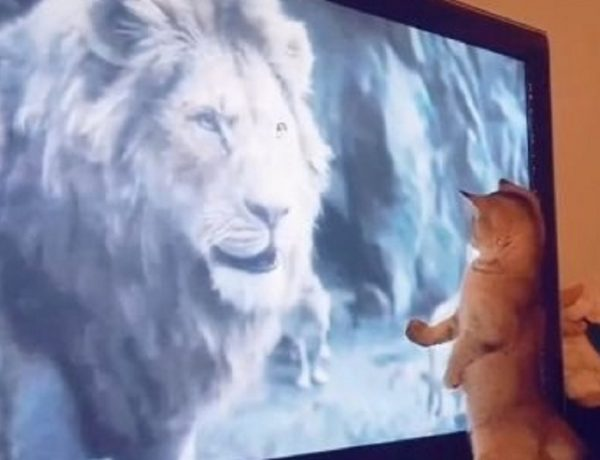 gatti, video, animali, curiosità, il re leone